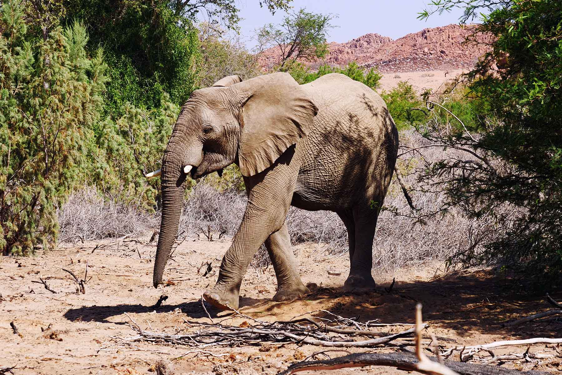 wie schnell laufen elefanten